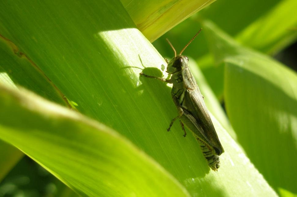 Download Free Stock HD Photo of Grasshopper on a Corn Stalk Online