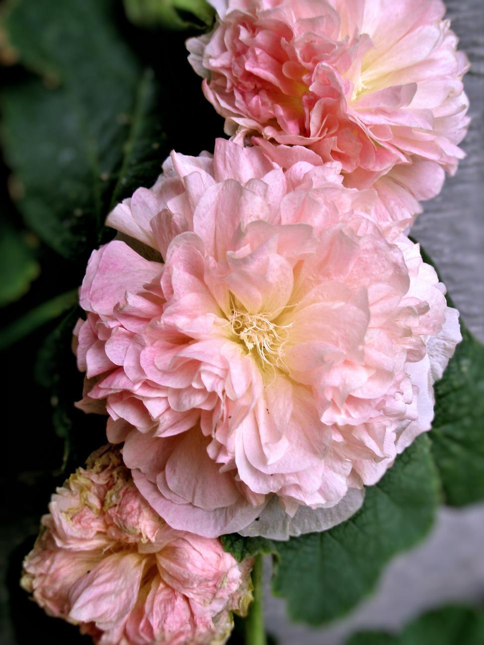 Download Free Stock HD Photo of Peaches 'n Dreams Hollyhock Online