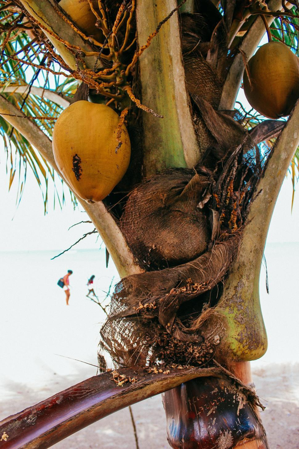 Download Free Stock HD Photo of Close up of a coconut tree Online