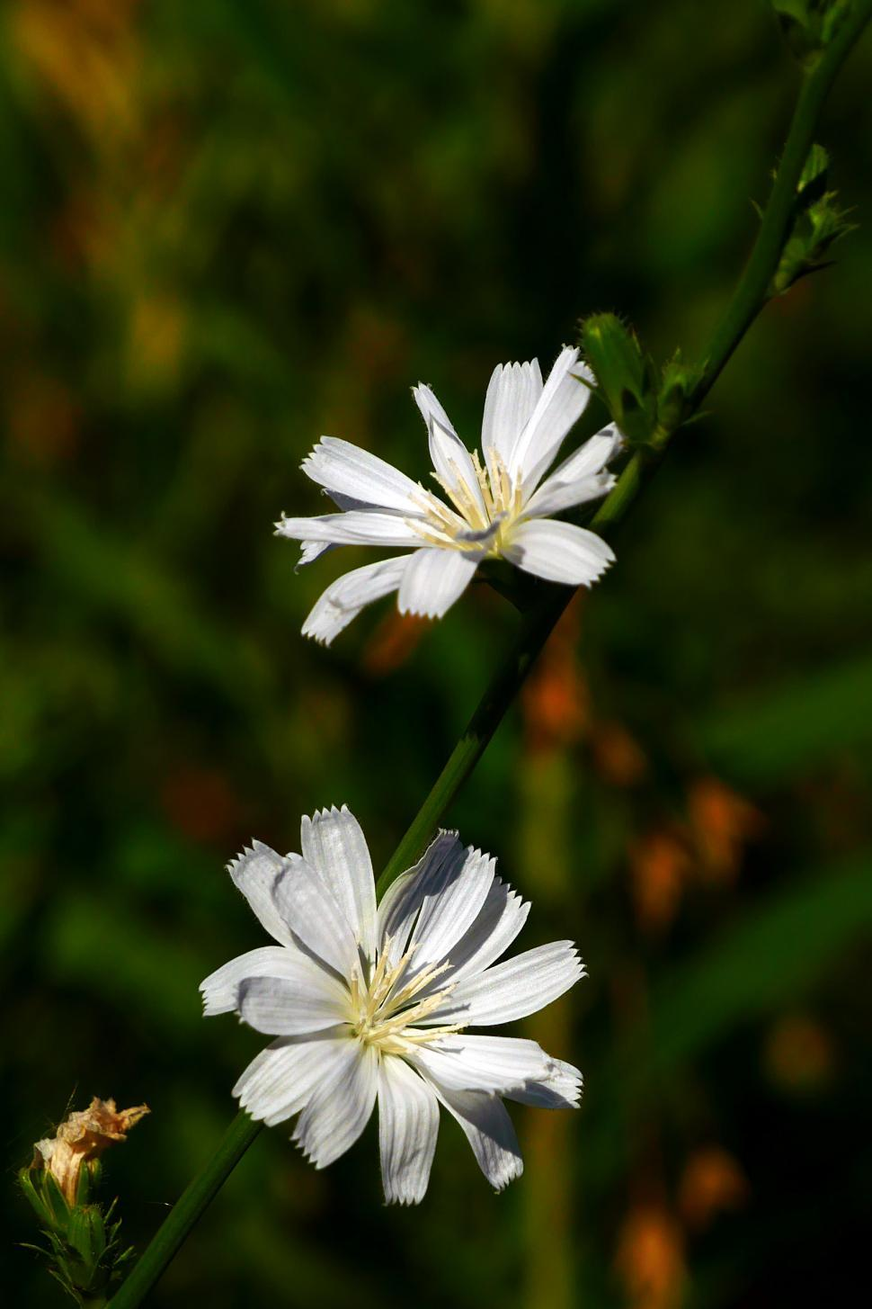 Download Free Stock HD Photo of Two White Chicory Flowers Online