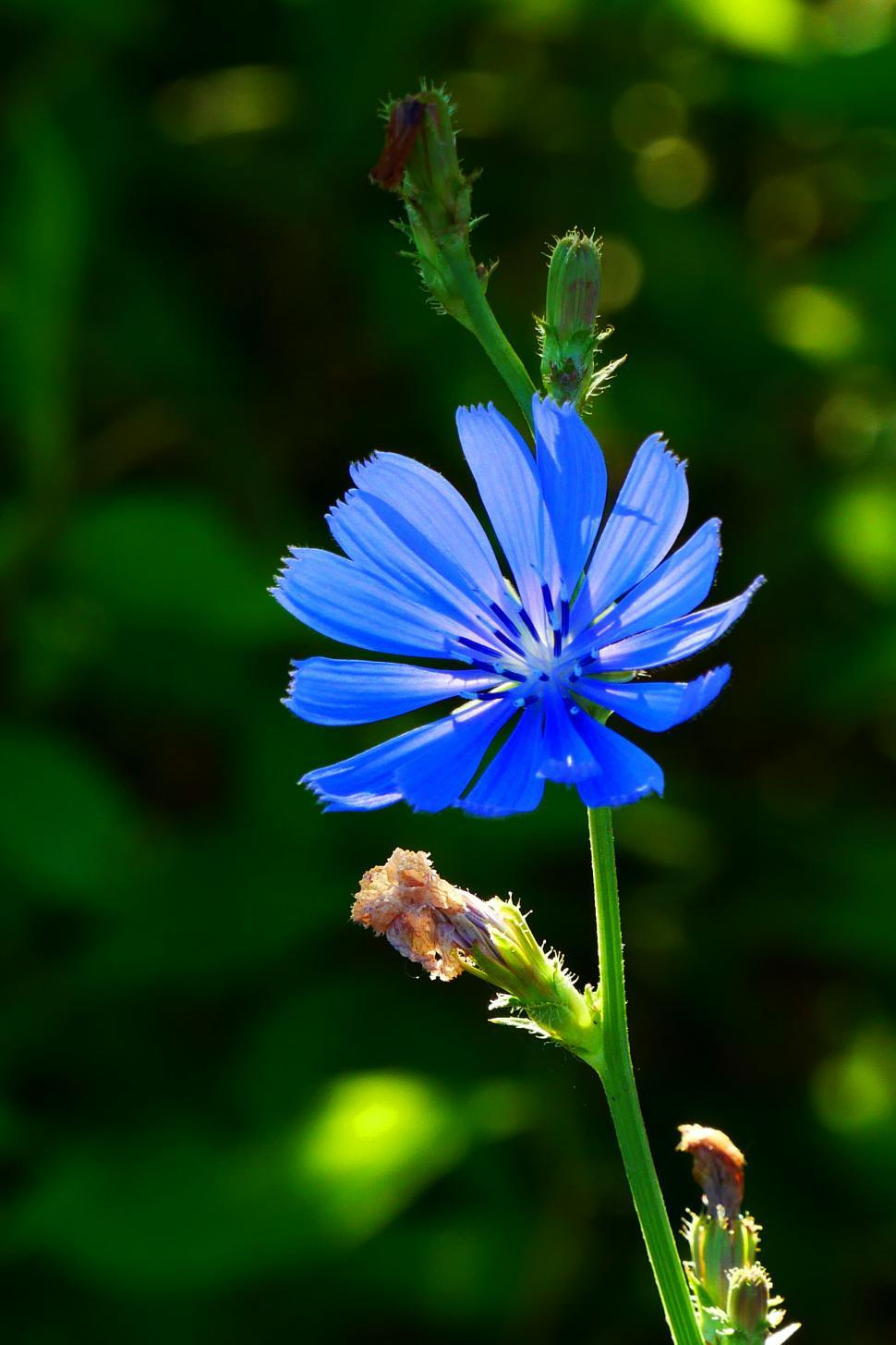 Download Free Stock HD Photo of One Purple Chicory Flower Online