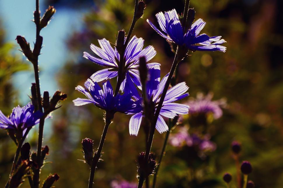 Download Free Stock HD Photo of Purple Chicory Flowers Lit by the Sun Online