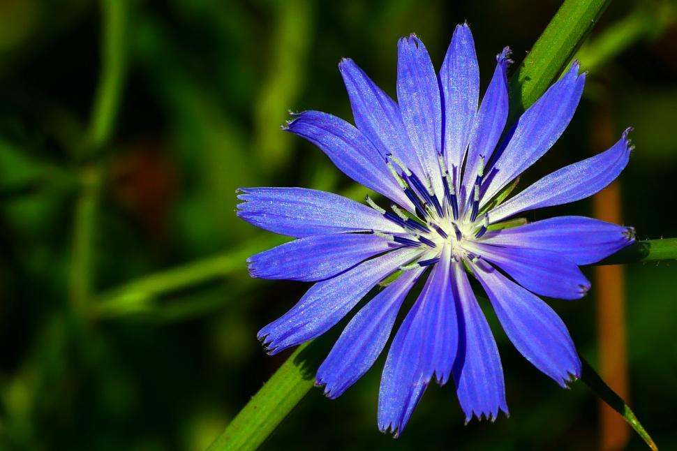 Download Free Stock HD Photo of Purple Chicory Flower Online