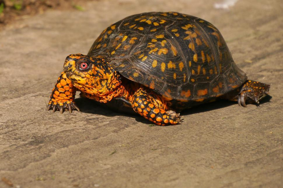 Download Free Stock HD Photo of Eastern Box Turtle on Hard Surface Online