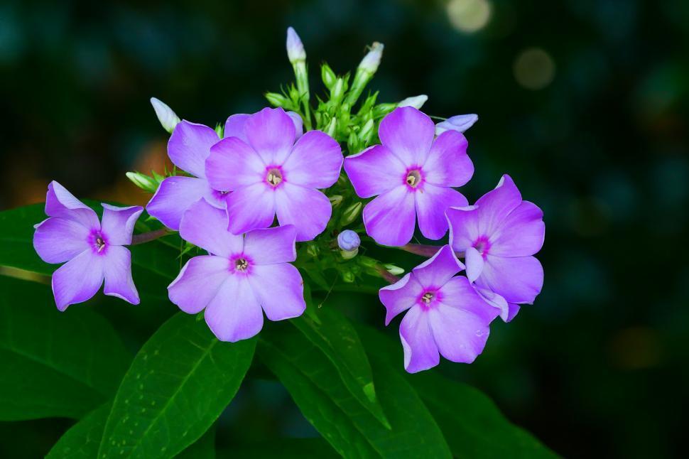 Download Free Stock HD Photo of Garden Phlox Flowers in Bloom Online