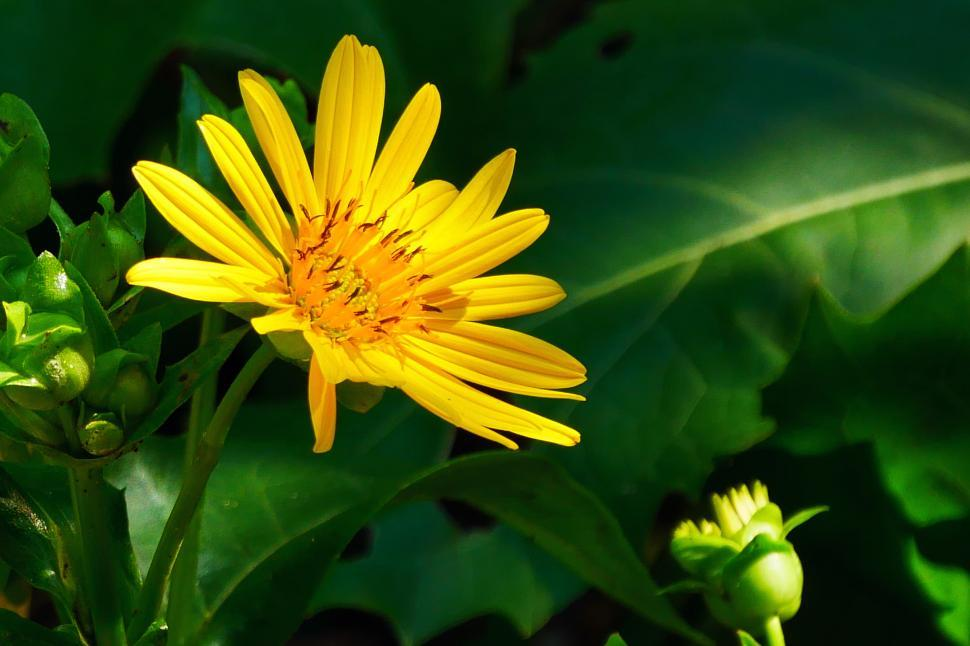 Download Free Stock HD Photo of Yellow Aster Flower and Bud Online