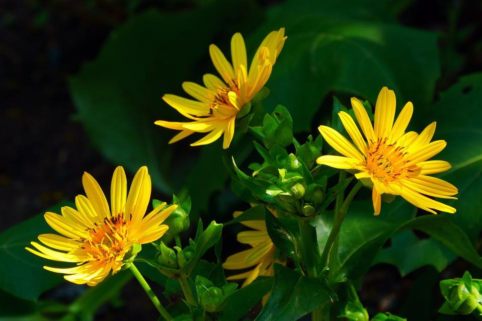 Download Free Stock HD Photo of Golden Aster Flowers Online