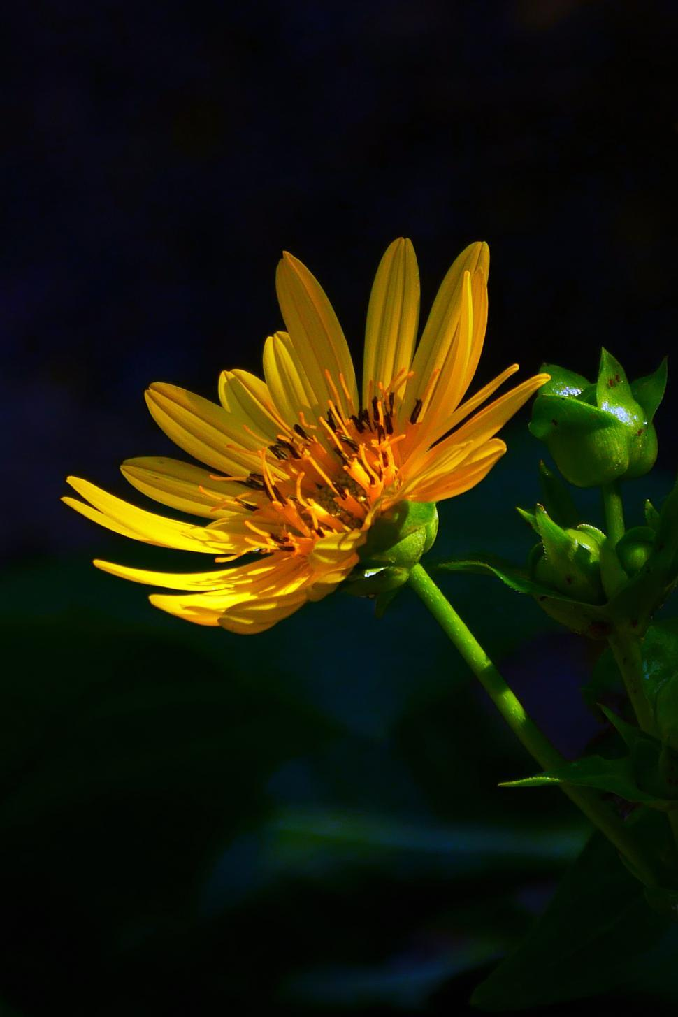 Download Free Stock HD Photo of Golden Aster Flower, Blooming in Shade Online