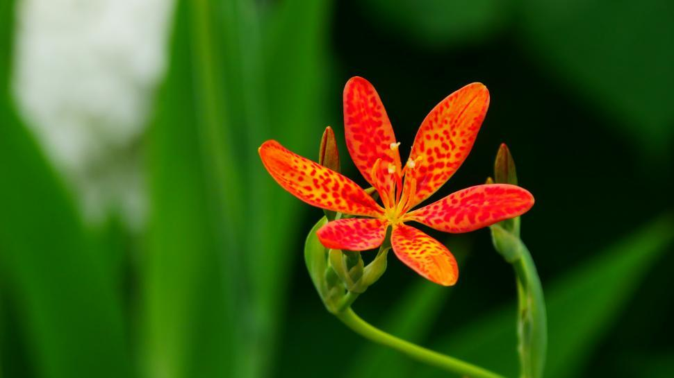 Download Free Stock HD Photo of Leopard Flower And Buds Online