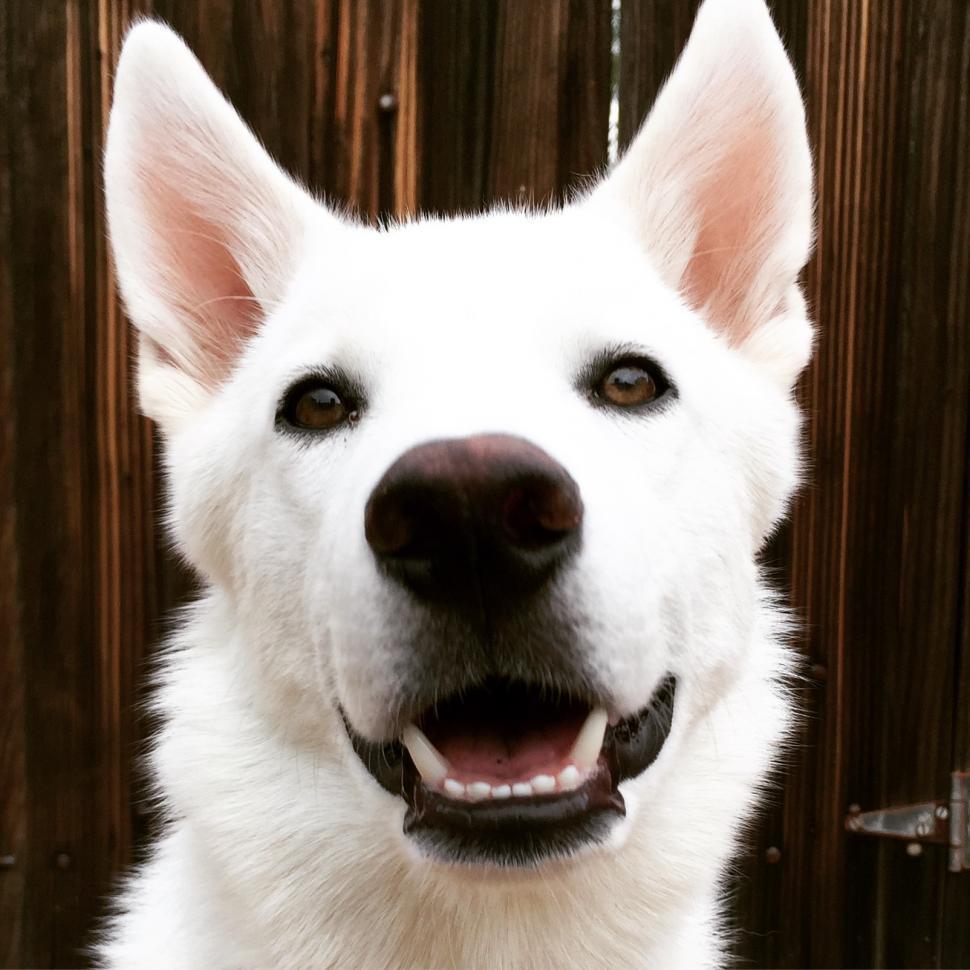 Download Free Stock HD Photo of Husky Dog Portrait Online