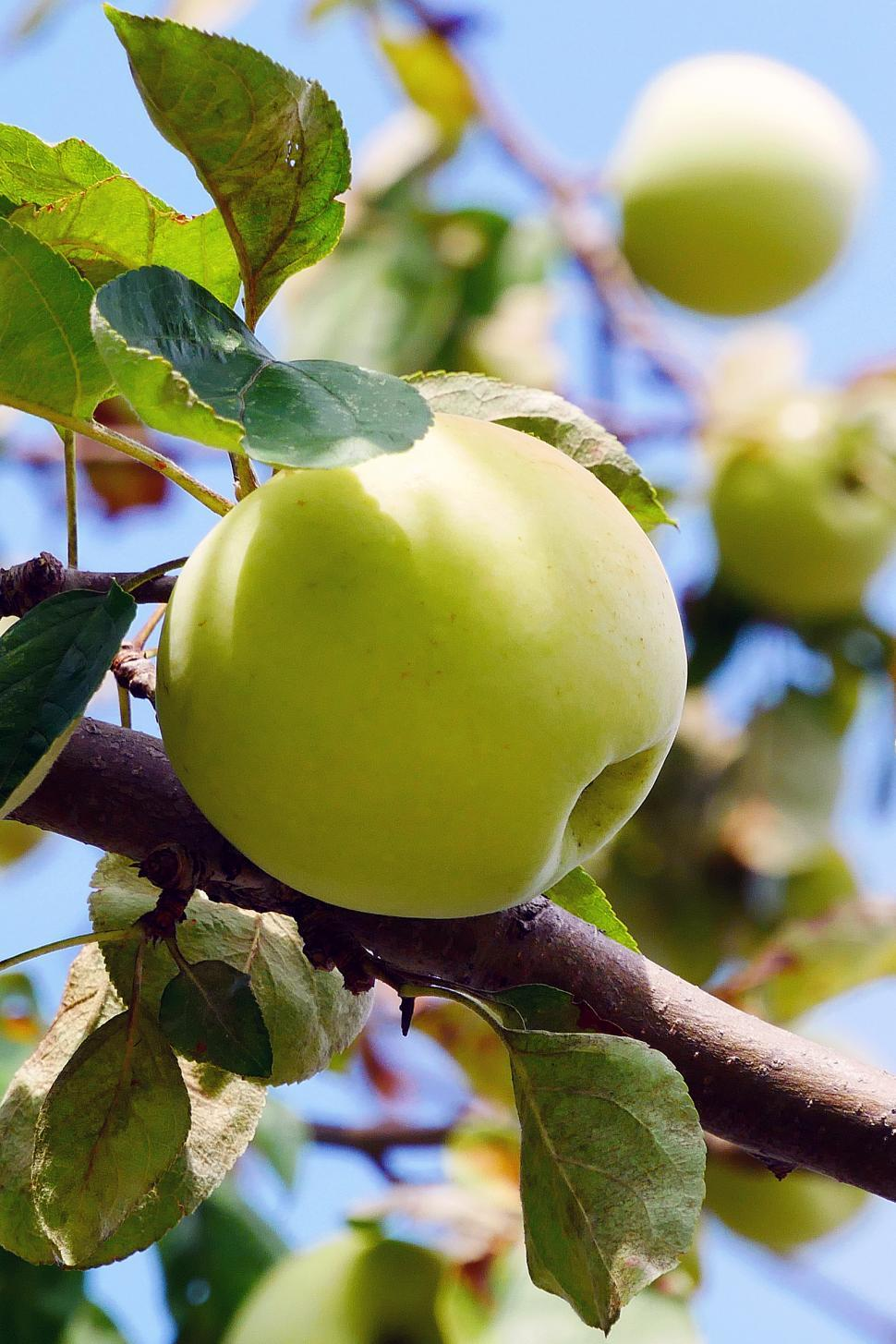 Download Free Stock HD Photo of Apples On The Tree Online