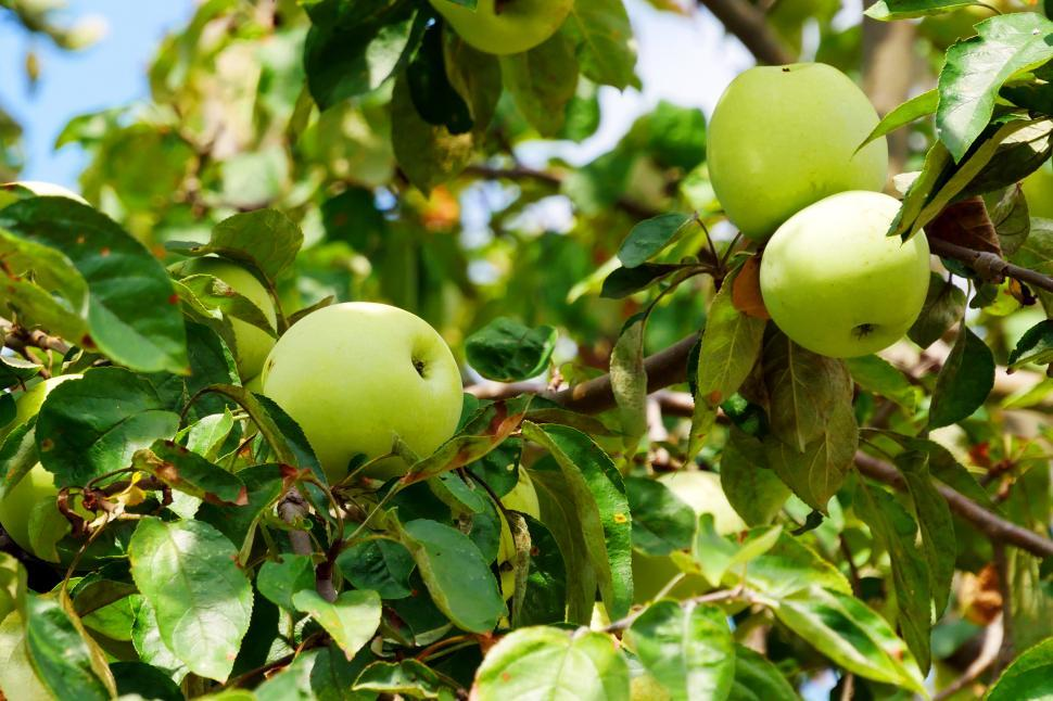 Download Free Stock HD Photo of Apples Ripen On The Tree Online