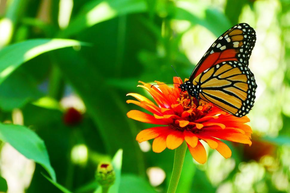 Free Stock Photo Of Monarch Butterfly On Flower Online Download Latest Free Images And Free Illustrations