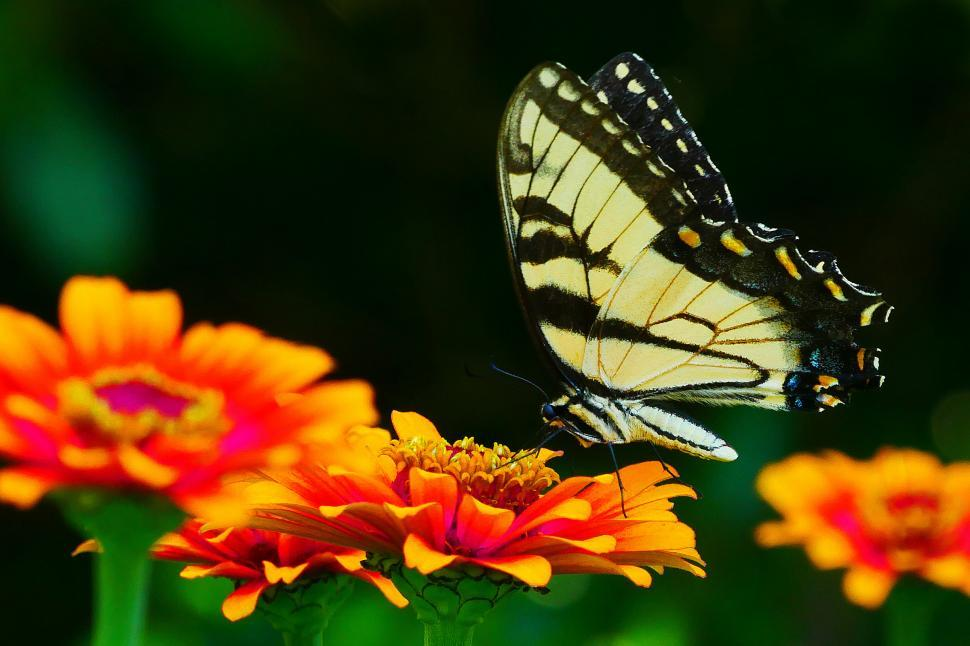 Download Free Stock HD Photo of Swallowtail Butterfly on Orange Flowers Online