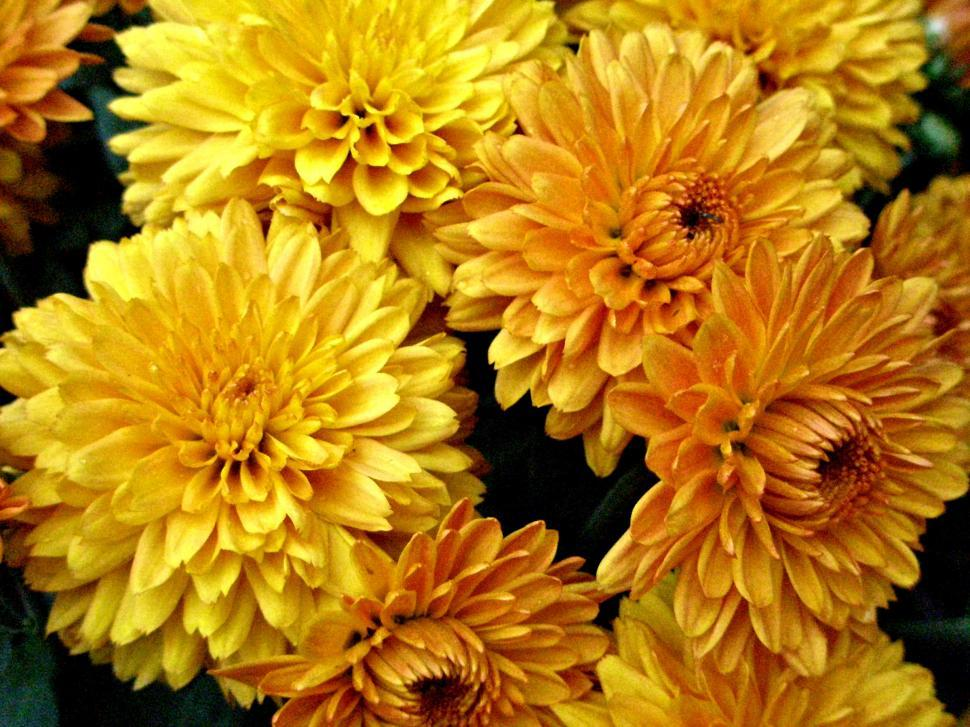 Download Free Stock HD Photo of Gold Chrysanthemum Online