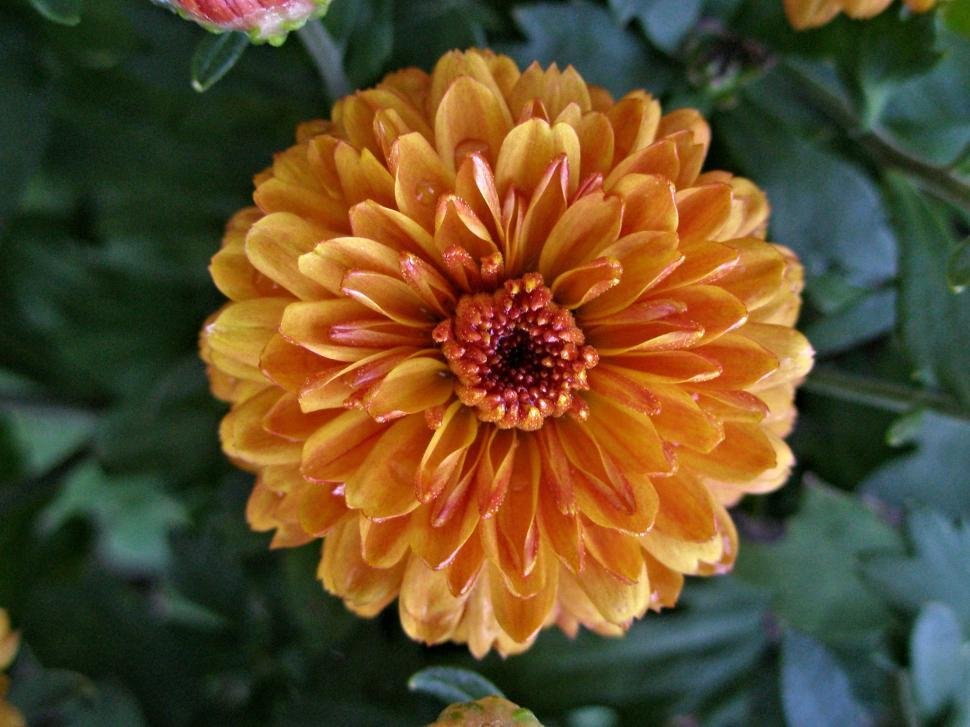 Download Free Stock HD Photo of Burnt Orange Chrysanthemum Online