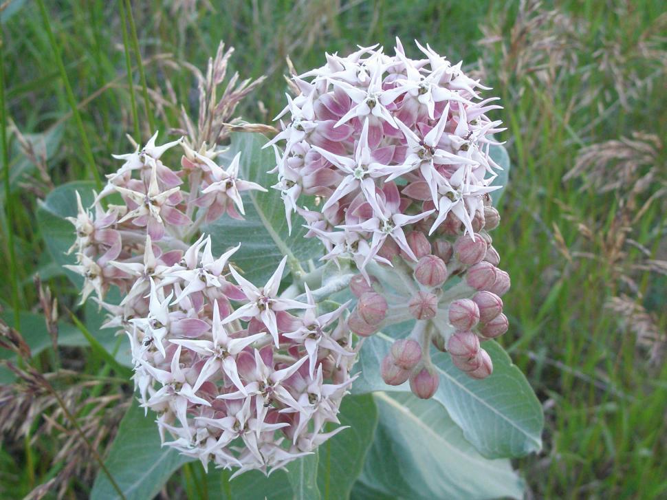Download Free Stock HD Photo of Milkweed Flower Online