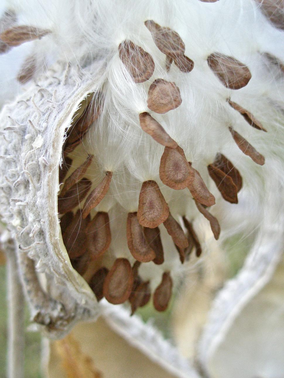 Download Free Stock HD Photo of Milkweed Seeds Online