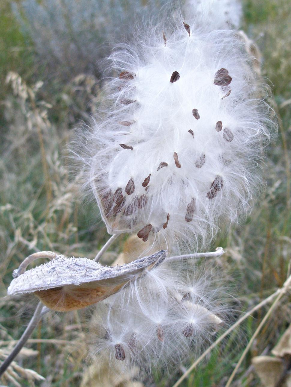Download Free Stock HD Photo of Milkweed Seeds Leaving Pods Online