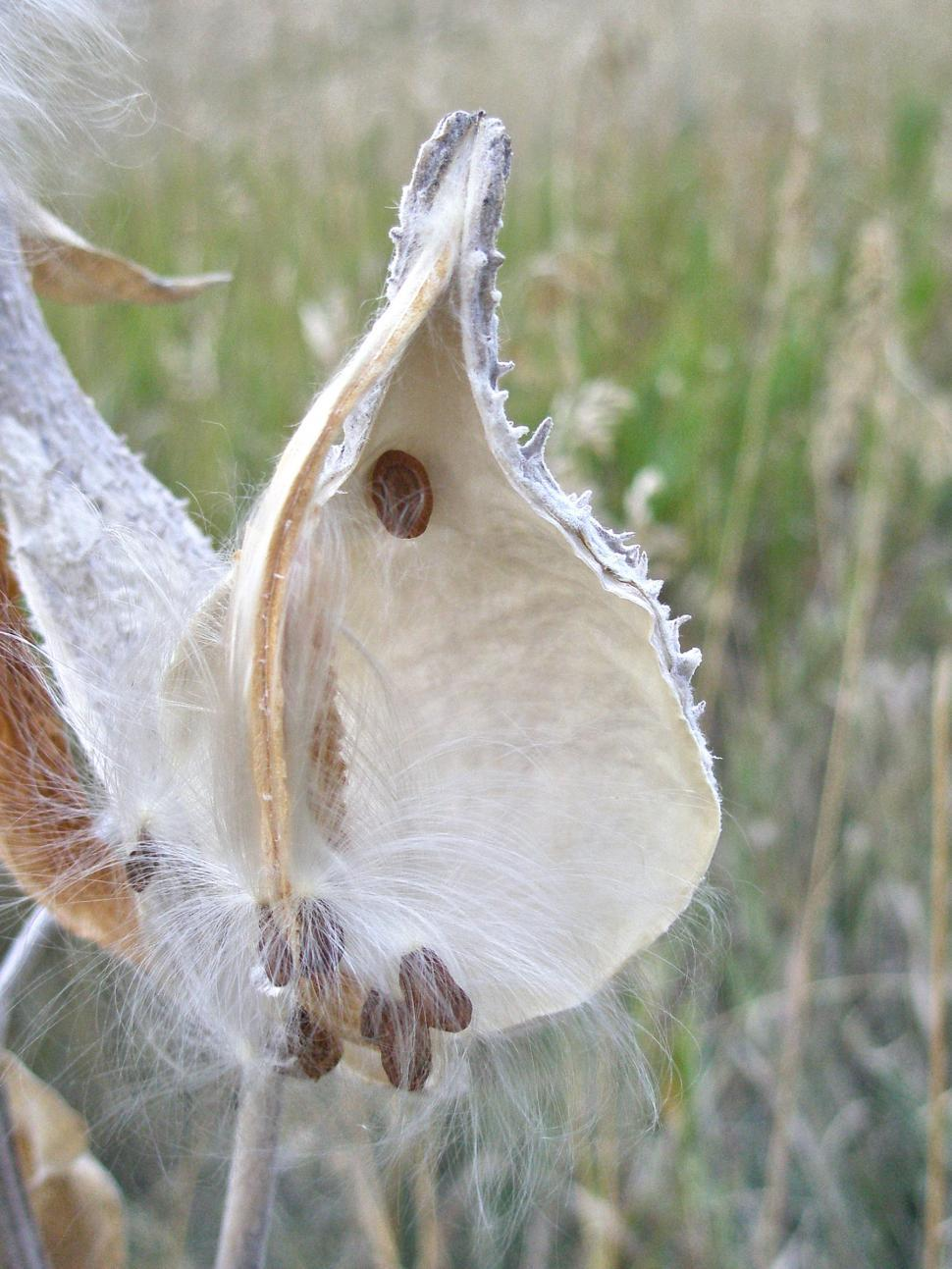 Download Free Stock HD Photo of Milkweed Seeds Empty Pod Online