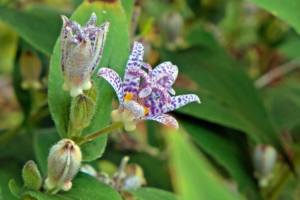 Get Free Stock Photos Of Toad Lily Blooming Flowers Cluster Online