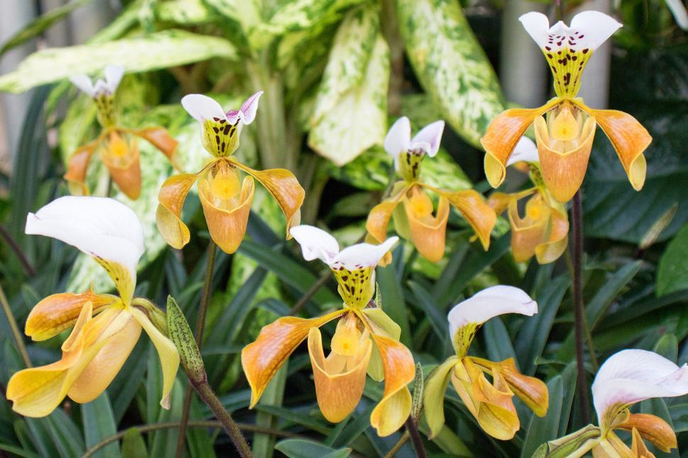 Download Free Stock HD Photo of Paphiopedilum Gratrixianum Orchids in Greehouse Online