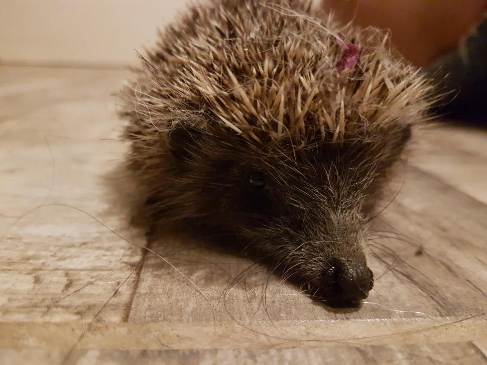 Download Free Stock HD Photo of Hedgehog  Online