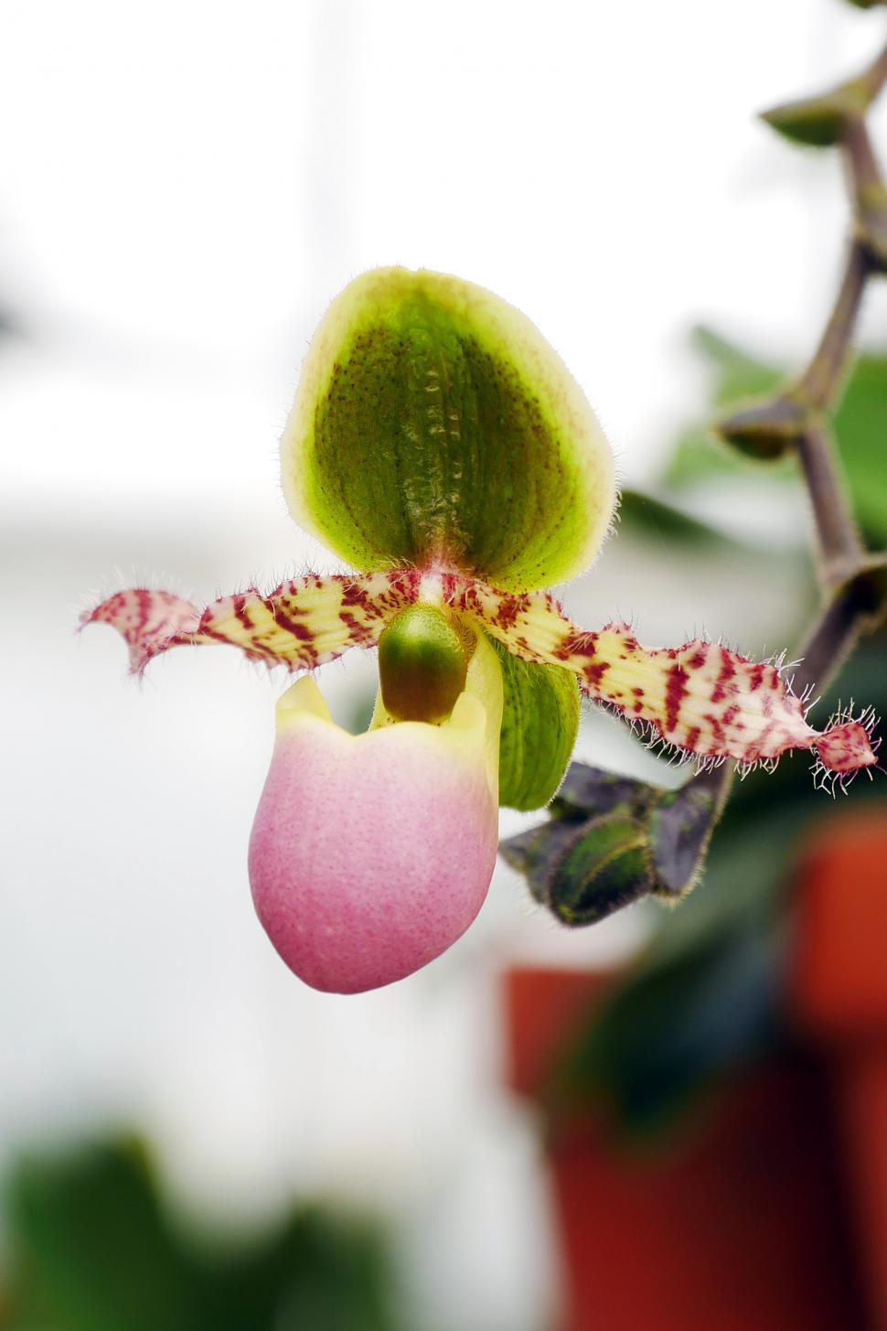 Download Free Stock HD Photo of Paphiopedilum or Slipper Orchid  Online