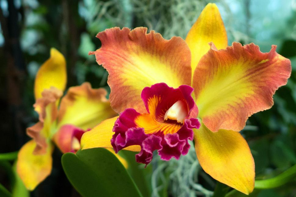 Download Free Stock HD Photo of Yellow Flowers Cattleya Orchid in Bloom Online