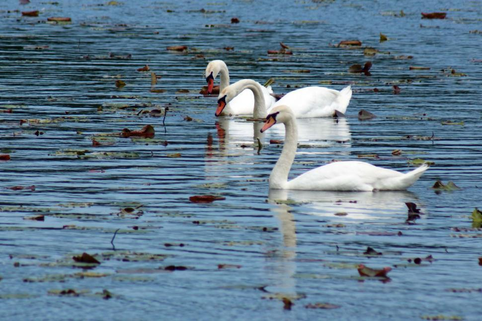 Download Free Stock HD Photo of 3 Swans Online