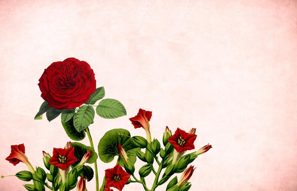 Download Free Stock HD Photo of Red rose free illustration  Online