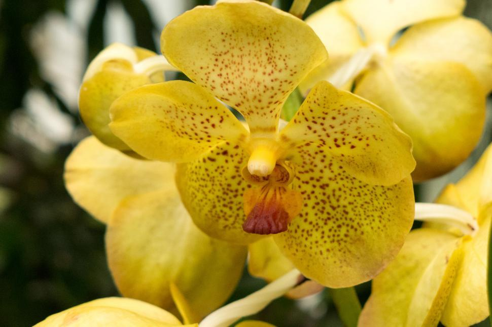 Download Free Stock HD Photo of Yellow Flowers Of Vanda Orchid Closeup Online
