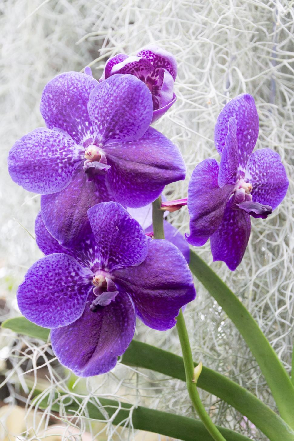 Download Free Stock HD Photo of Cluster of Blue Vanda Orchid Flowers Online