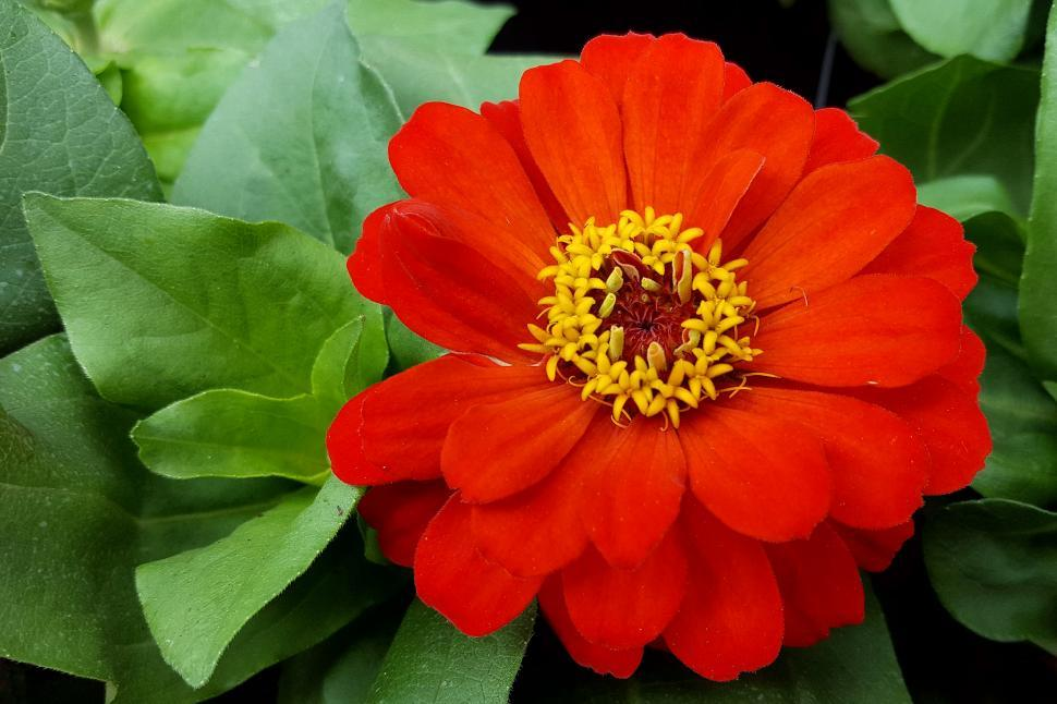Download Free Stock HD Photo of Zinnia Red Orange Flower Bloom Online