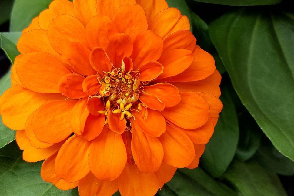 Download Free Stock HD Photo of Zinnia Orange Bloom Closeup Online