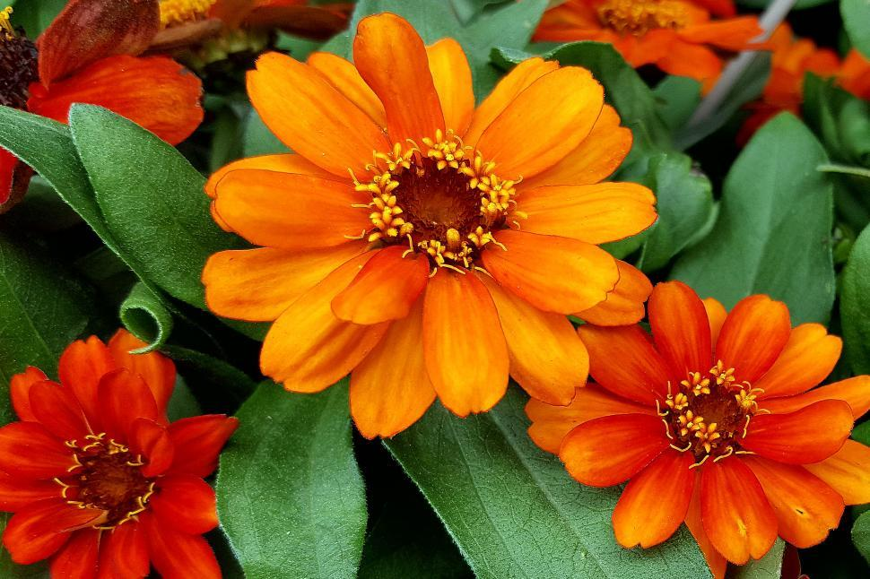 Download Free Stock HD Photo of Zinnia Orange Flowers Online