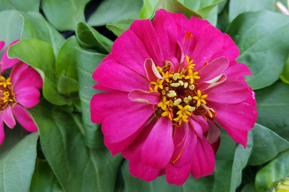 Download Free Stock HD Photo of Zinnia Pink Flower Full Bloom Online