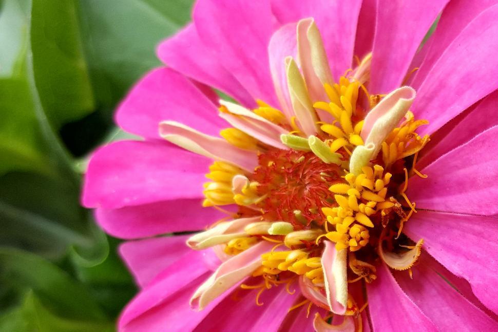 Download Free Stock HD Photo of Zinnia Pink Flower Closeup Online