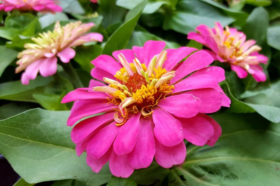 Download Free Stock HD Photo of Zinnia Pink Flowers Online