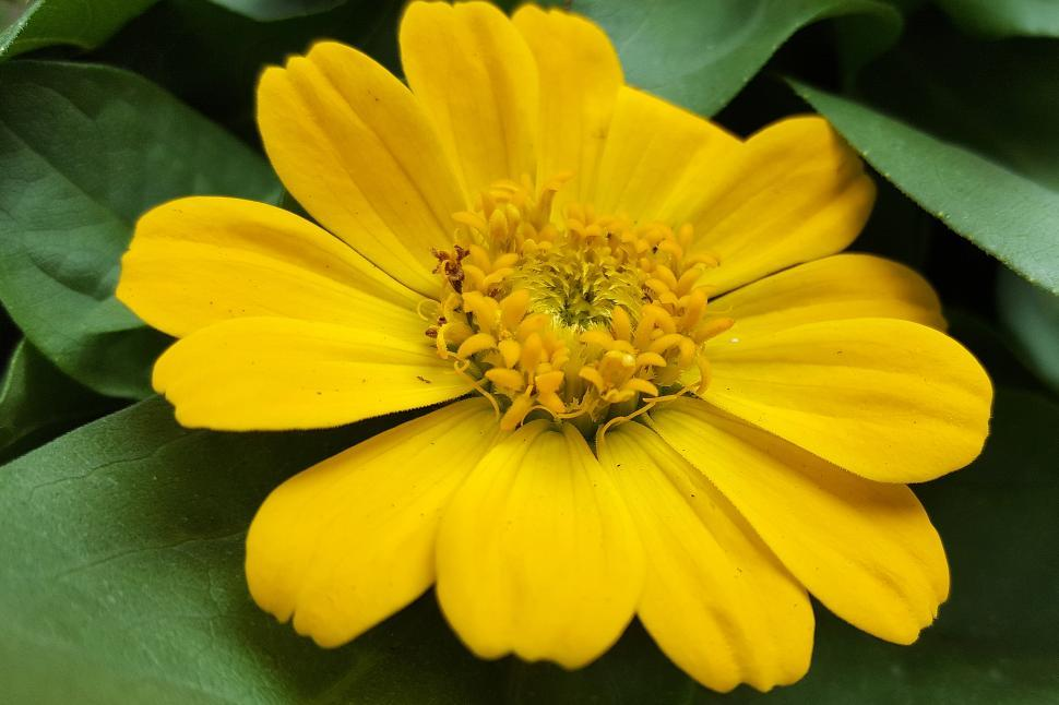 Download Free Stock HD Photo of Zinnia Yellow Flower Bloom Online
