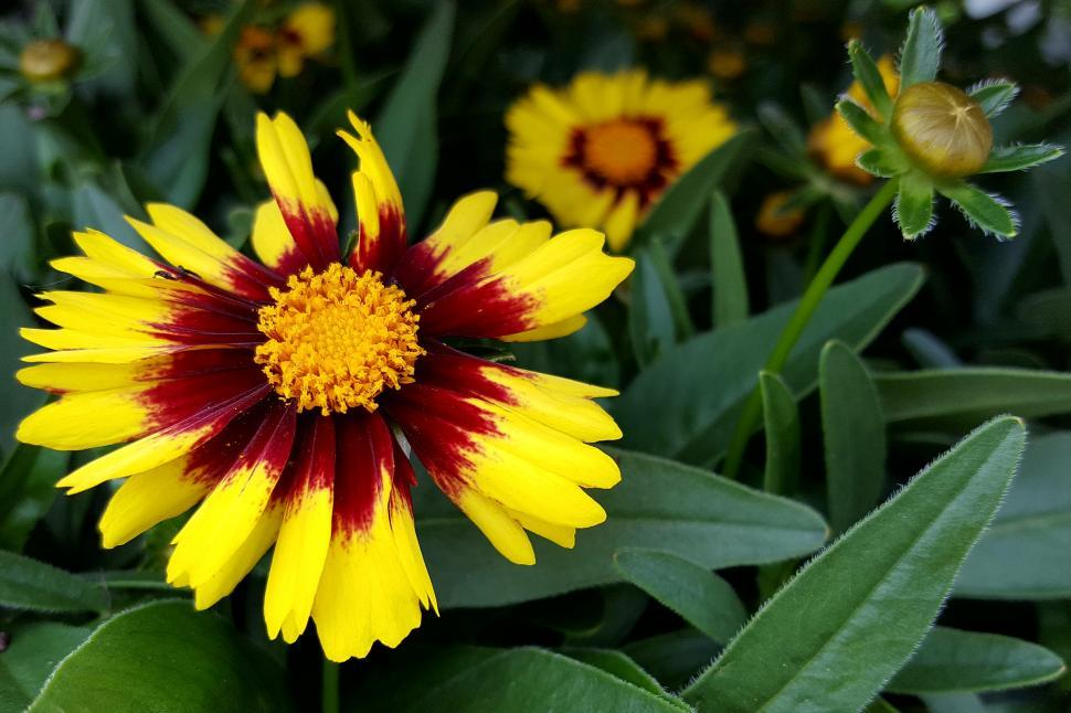 Download Free Stock HD Photo of Zinnia Yellow Red Flower Online