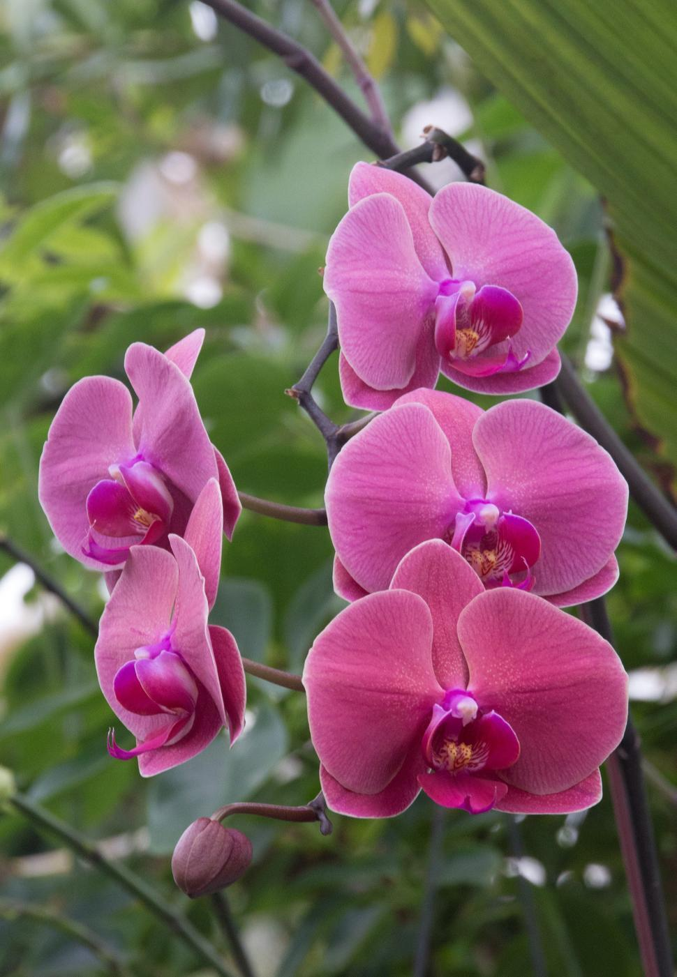 Download Free Stock HD Photo of Pale Pink Moth Orchid Flowers Online