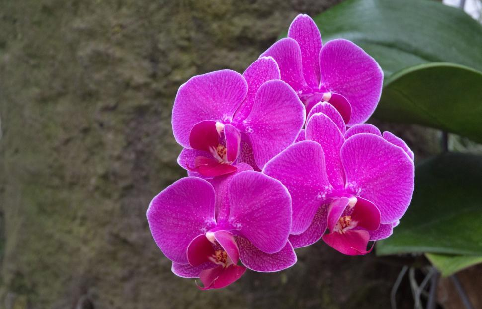 Download Free Stock HD Photo of Pink Moth Orchid Flowers Online