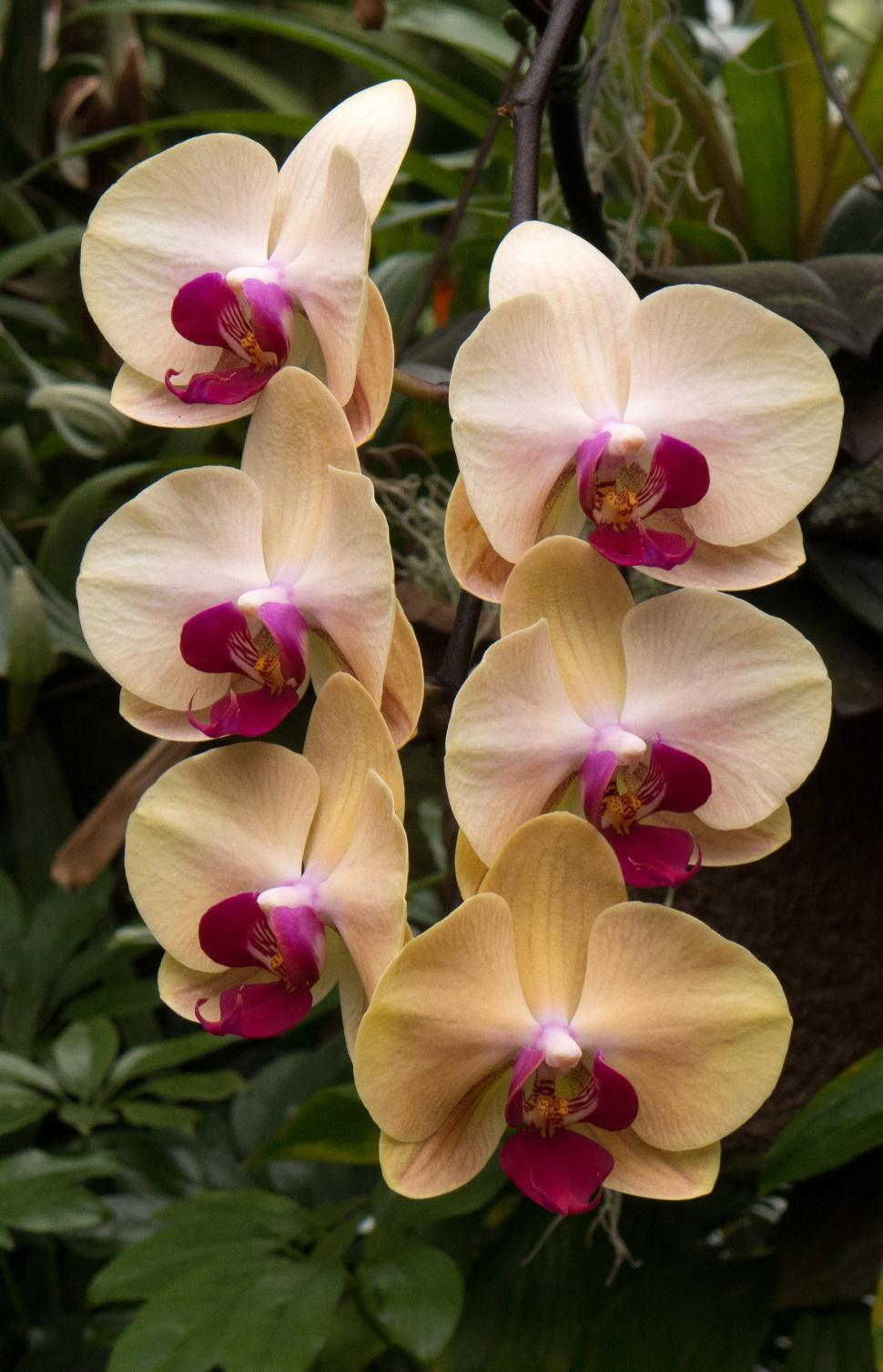 Download Free Stock HD Photo of Moth Orchid Flowers in Pale Yellow Online