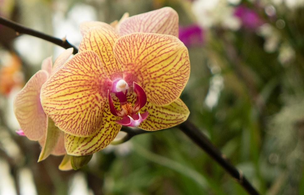 Download Free Stock HD Photo of Orange Striped Moth Orchid Flowers Online