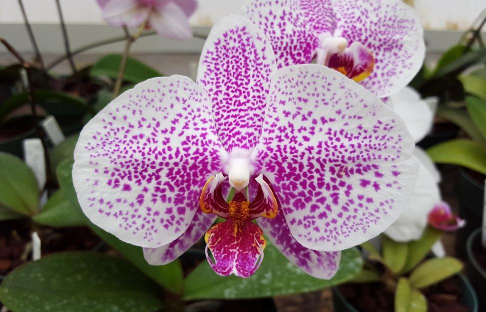 Download Free Stock HD Photo of Moth Orchid Flower Bloom Online