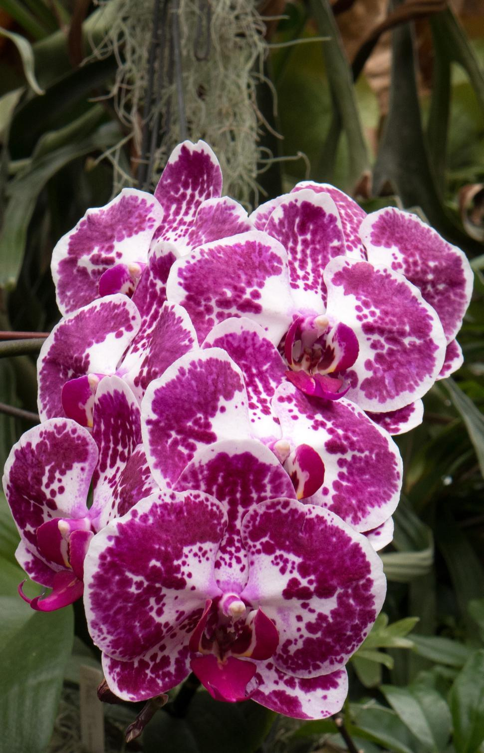 Download Free Stock HD Photo of Cluster of Maroon Moth Orchid Flowers Online