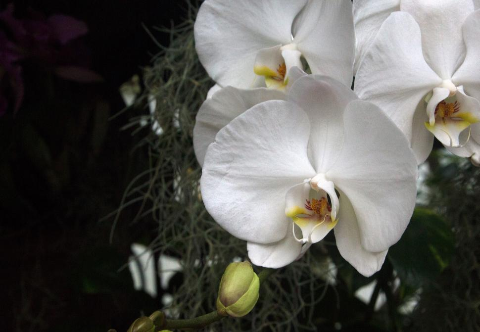 Download Free Stock HD Photo of Moth Orchid White Flowers Online