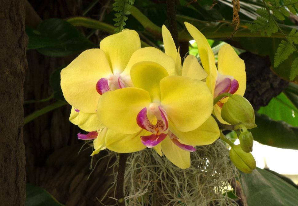 Download Free Stock HD Photo of Moth Orchid Flowers - Yellow Cluster Online