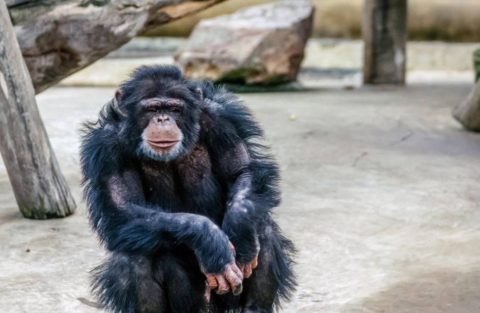 Download Free Stock HD Photo of Furry Chimpanzee Online